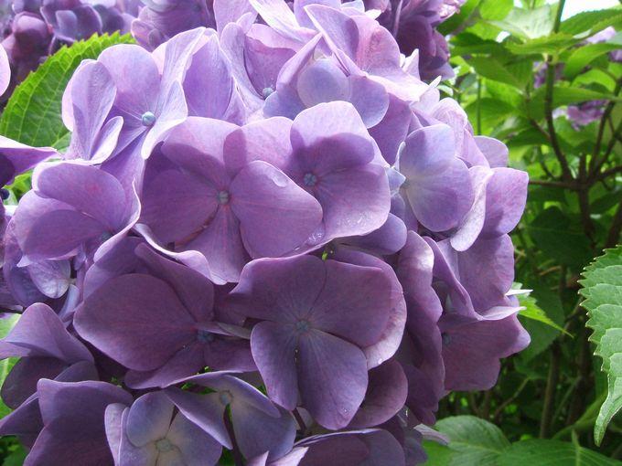 成就院の紫陽花1.jpg