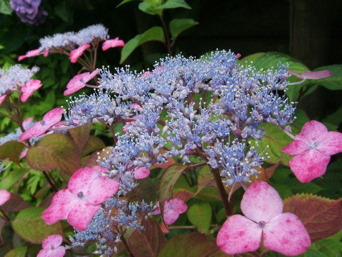 成就院の紫陽花2.jpg