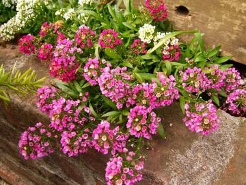 近所の花.jpg